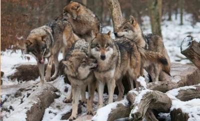 Le loup en France, historique et état des lieux - Koifaire