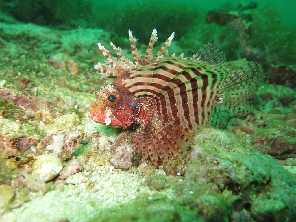 lionfish-1179264_1920