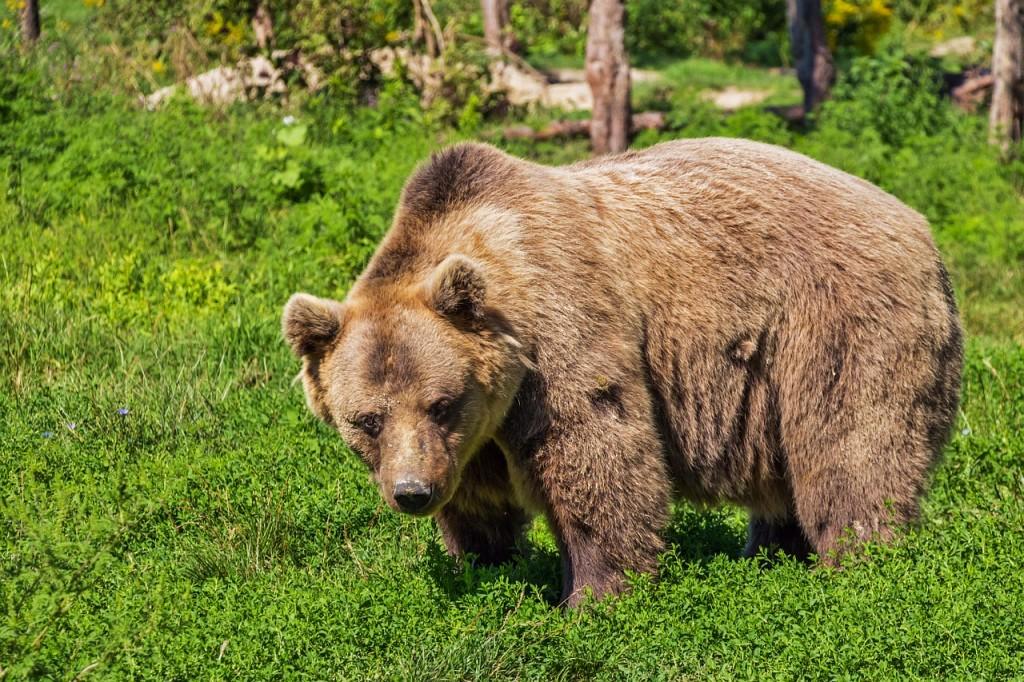 bear-422682_1280