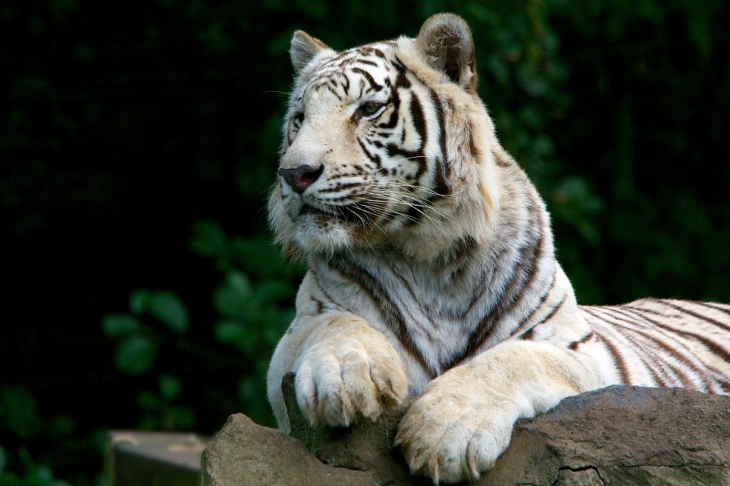 tiger-2398526_1280