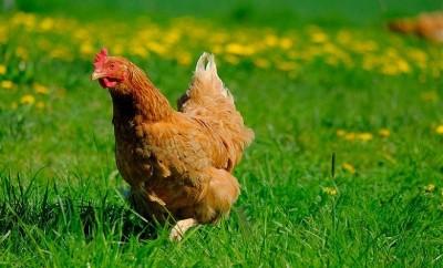 chicken-4151637_640