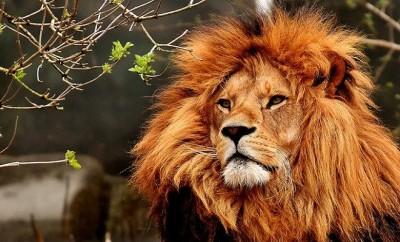 lion-3372720_640