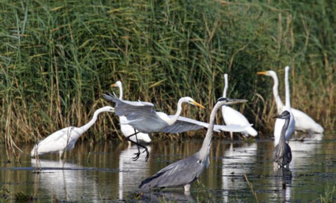 parc-des-oiseaux-grandes-aigrettes
