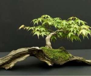 Club des amis des bonsai