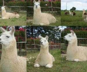 Les lamas du grand chemin
