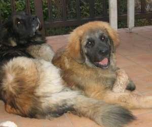 Cornet  killian  exposition de chiens  leonberg