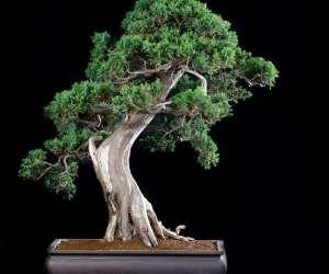 Paris bonsaï