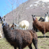 photo Les Lamas Du Val D'azun
