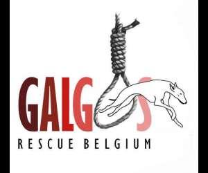 Galgos rescue belgium