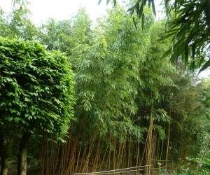 Bambou du bois pépinière