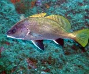 Flabelline plongee